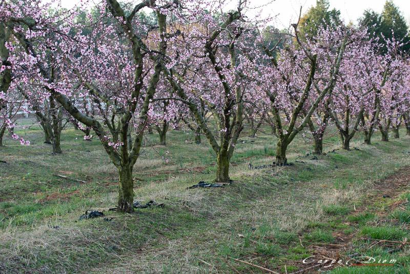 Vườn hoa Đào