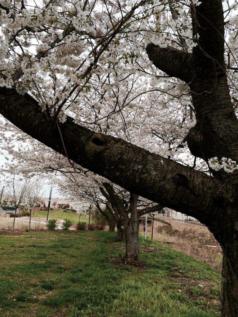 Cherry Blossom in Charlotte
