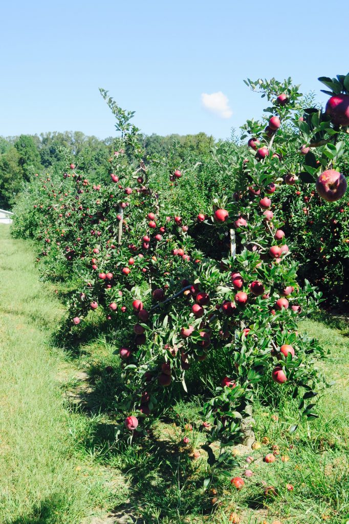 Pick your own apples, Hendersonville, NC