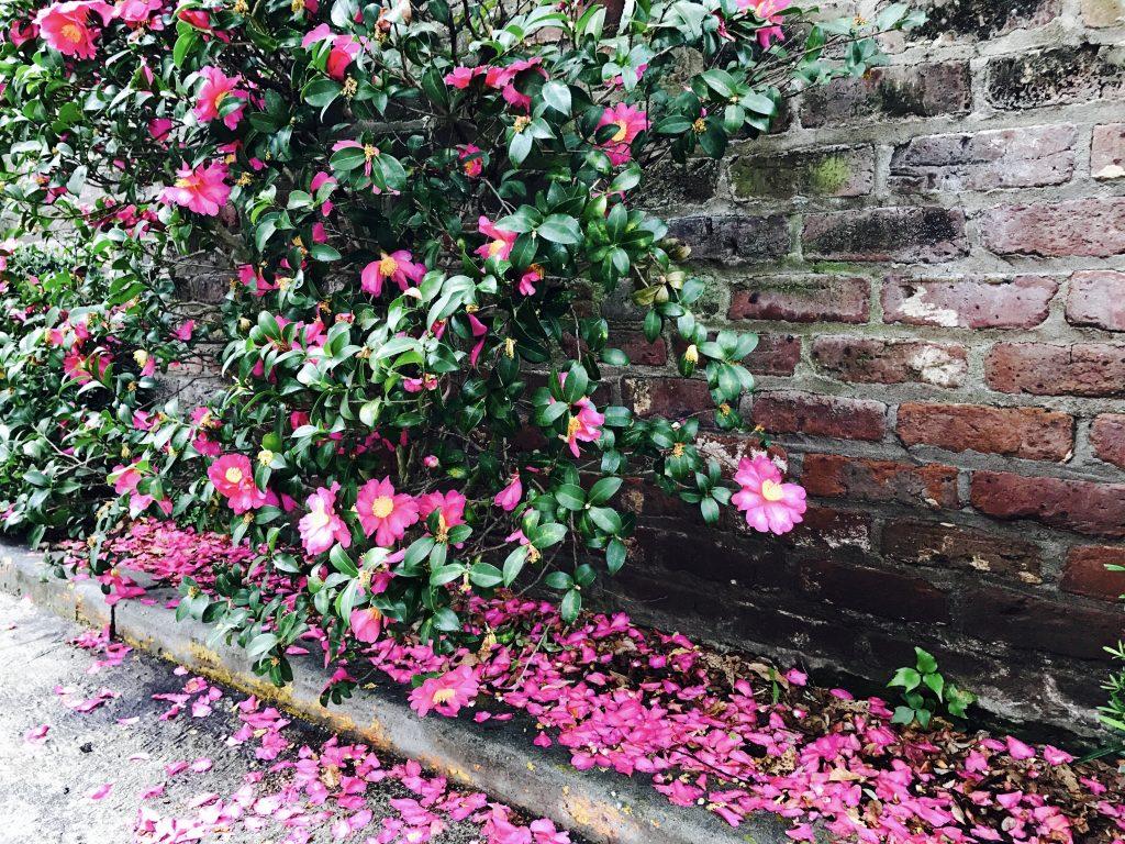 Hoa Camellia nở đầu năm